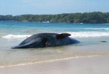 Velryba uvíznutá na australské pláži byla zachráněna