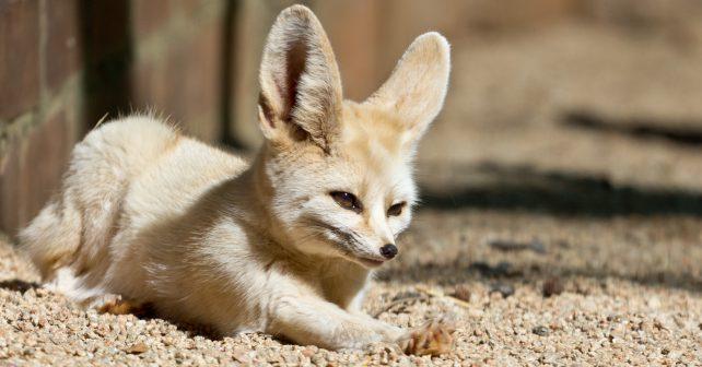 Pokud chcete vidět mláďata nejmenší lišky na světě, přijměte pozvání do jihlavské ZOO