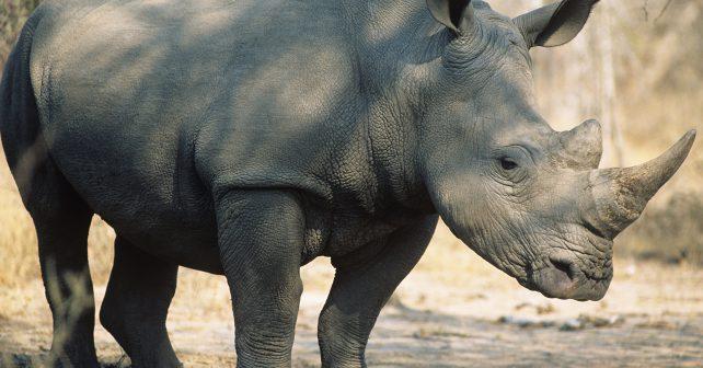 Ze ZOO ve Dvoře Králové putuje do Afriky další nosorožec. Samice Eliška pozná domov svých předků.