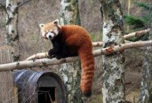 Vzácná mláďata pandy červené brzy okouzlí návštěvníky jihlavské ZOO