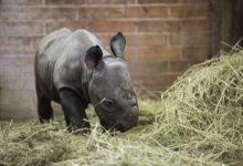Během jediného dne rozšířili řady královedvorské ZOO dva malí nosorožci