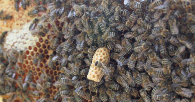 Termosolární úly: objev českého včelaře zachrání včelstvo