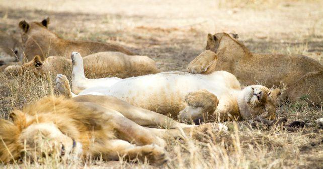 Ve Dvoře Králové bude lví safari