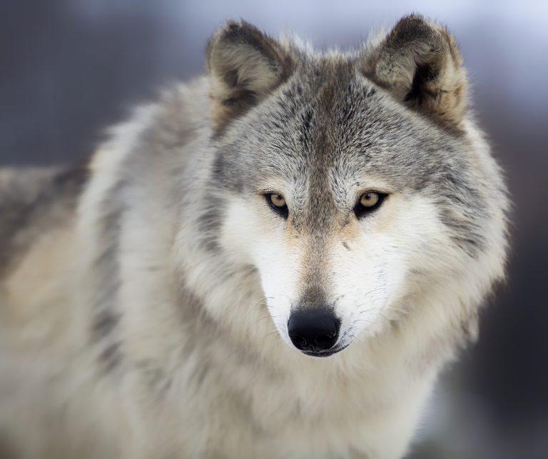 Vlci se vrátili do středních Čech. Trvalo jim to dvě stě let