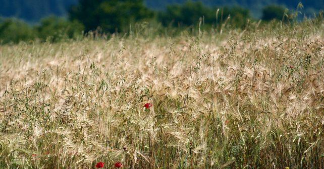 Webový portál Intersucho radí zemědělcům, kdy zavlažovat