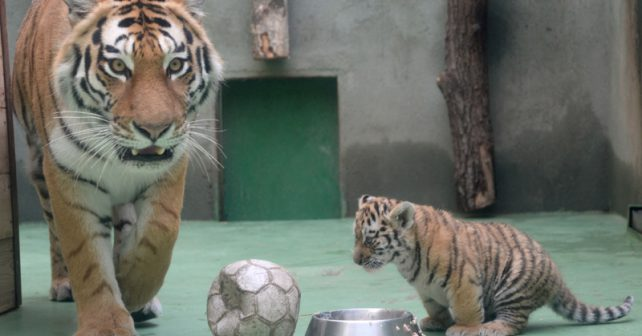 Zoo v Olomouci láká na tygří dvojčata i výstavu o Indonésii
