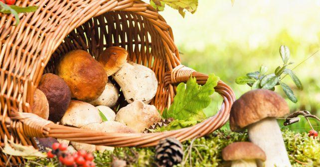 Mykologové očekávají v říjnu ideální podmínky pro sběr hub