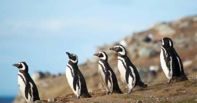 Tučňák se už čtyři roky vrací ke svému zachránci