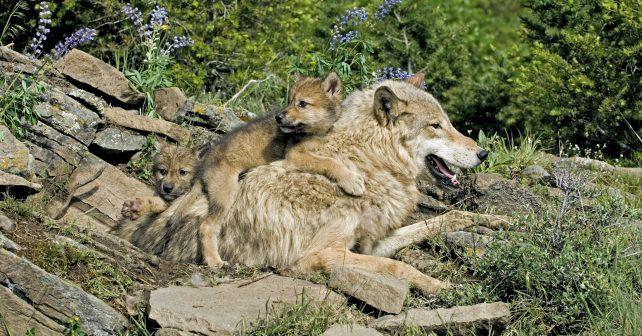 Do Jeseníků se navrátili vlci i rysi
