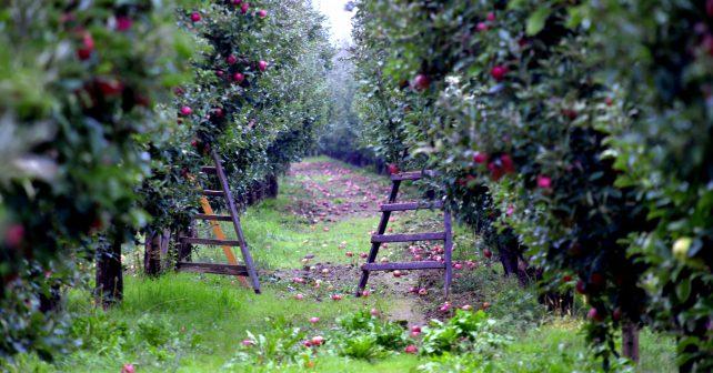 Výsadba ovocných stromů v krajině či přírodní zahrady. Jihočeská ratolest ukazuje, že ochrana přírody je aktuální téma