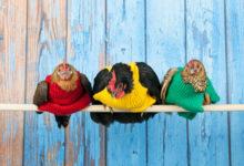 Angličanky pletou svetříky pro slepice. Sbírají tak peníze pro africké sirotky