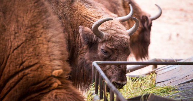 Na neprodaných vánočních stromcích si pochutnají zvířata v brněnské zoo