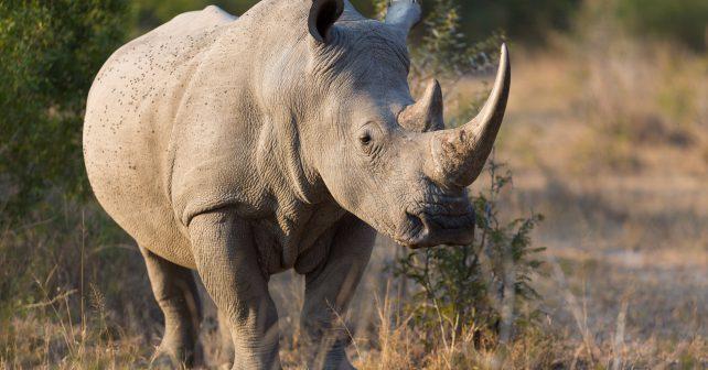 Skupina vědců připravila plán na záchranu severních bílých nosorožců