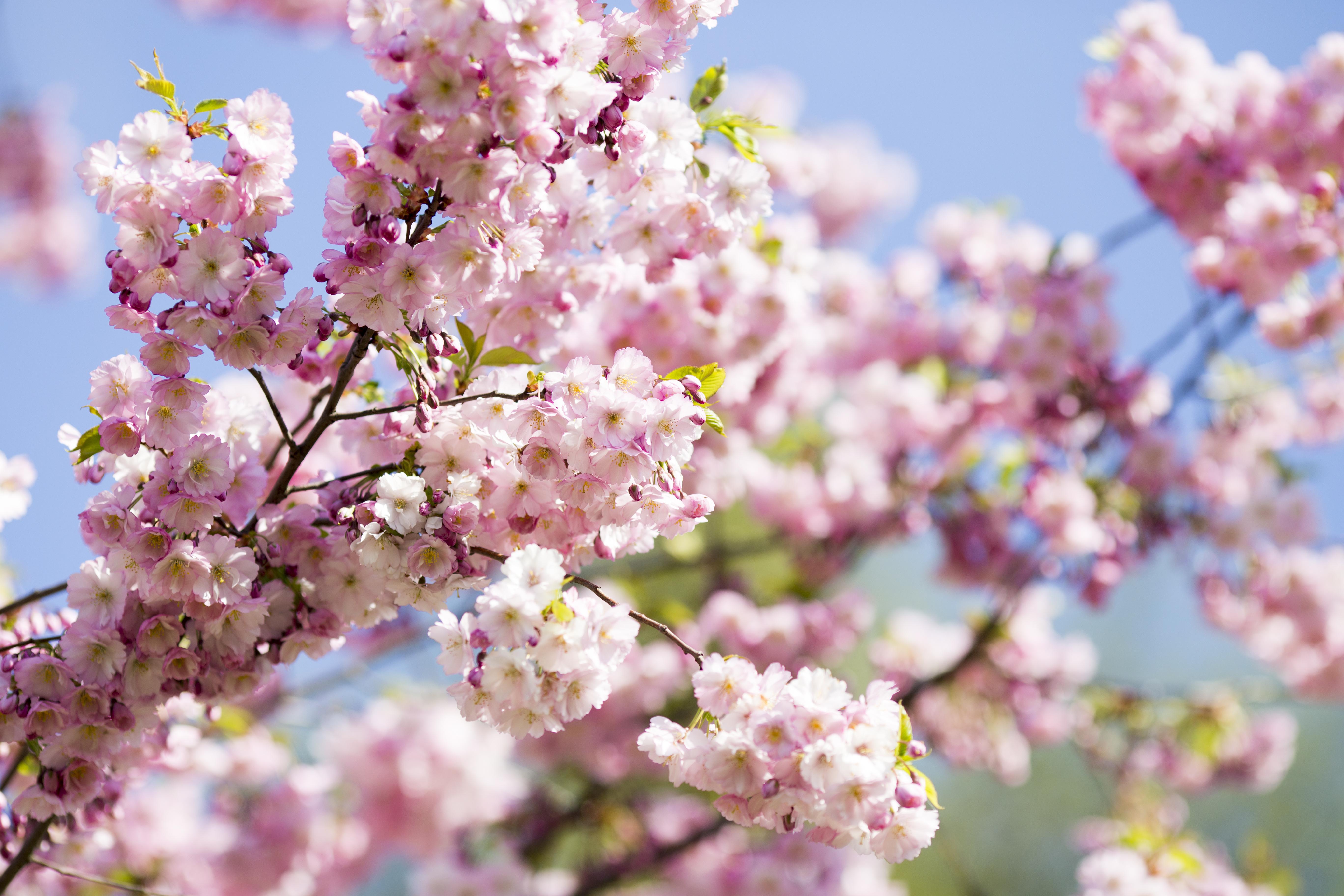 Japonec vysázel tisíce květin pro radost své osleplé ženy