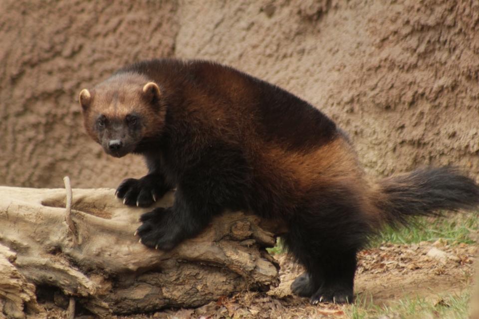 V brněnské zoo se narodilo první mládě rosomáka v Česku