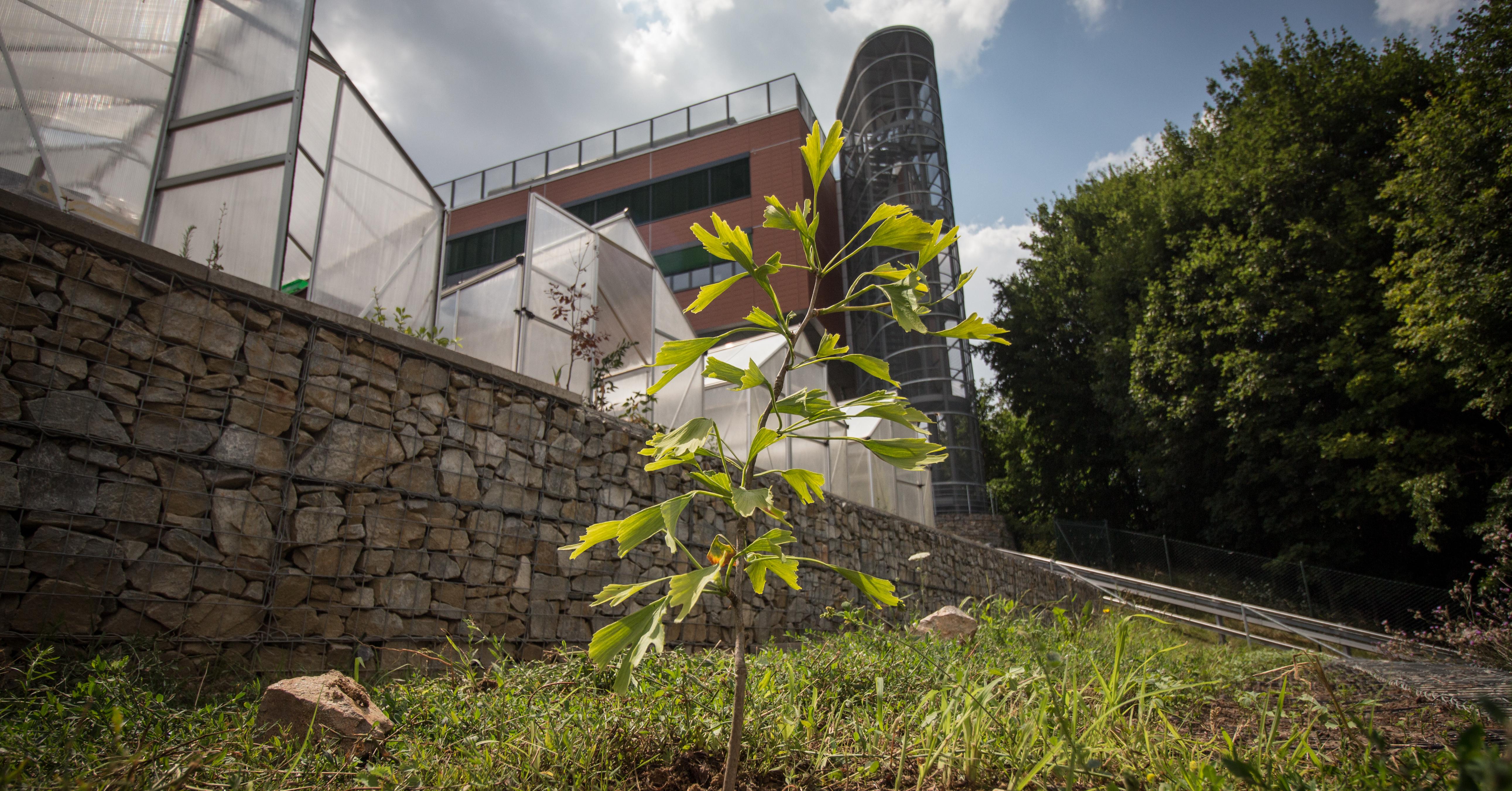 Botanici Masarykovy univerzity objevili světově ojedinělý jinan