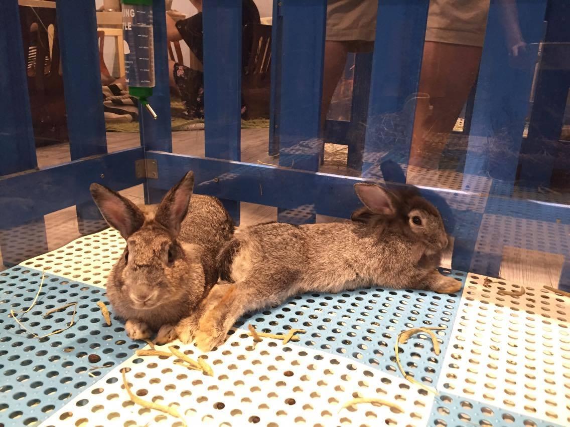 Káva mezi zvířaty. V Hongkongu funguje králičí kavárna