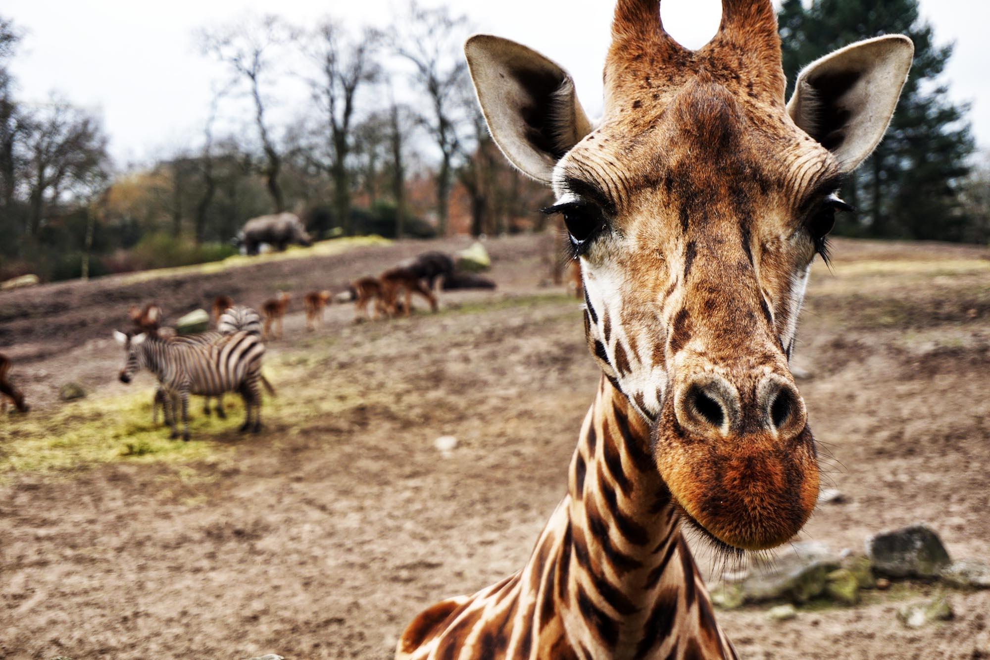Není žirafa, jako žirafa. Podle genetického výzkumu existují čtyři druhy