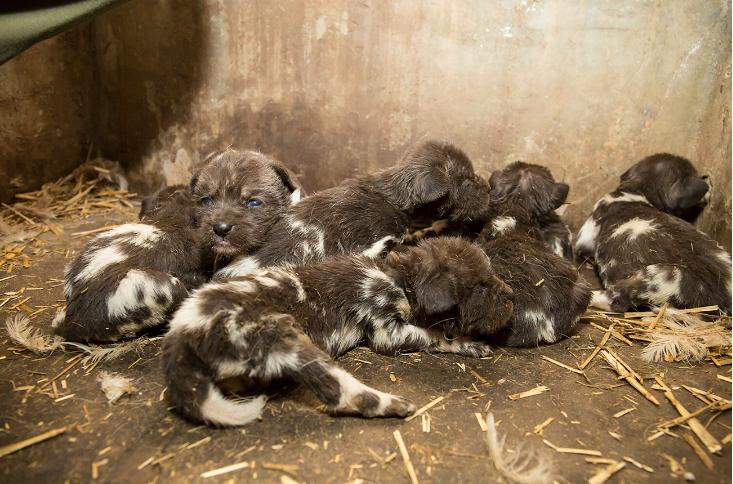 V zoo ve Dvoře Králové se narodilo sedm mláďat psa hyenového