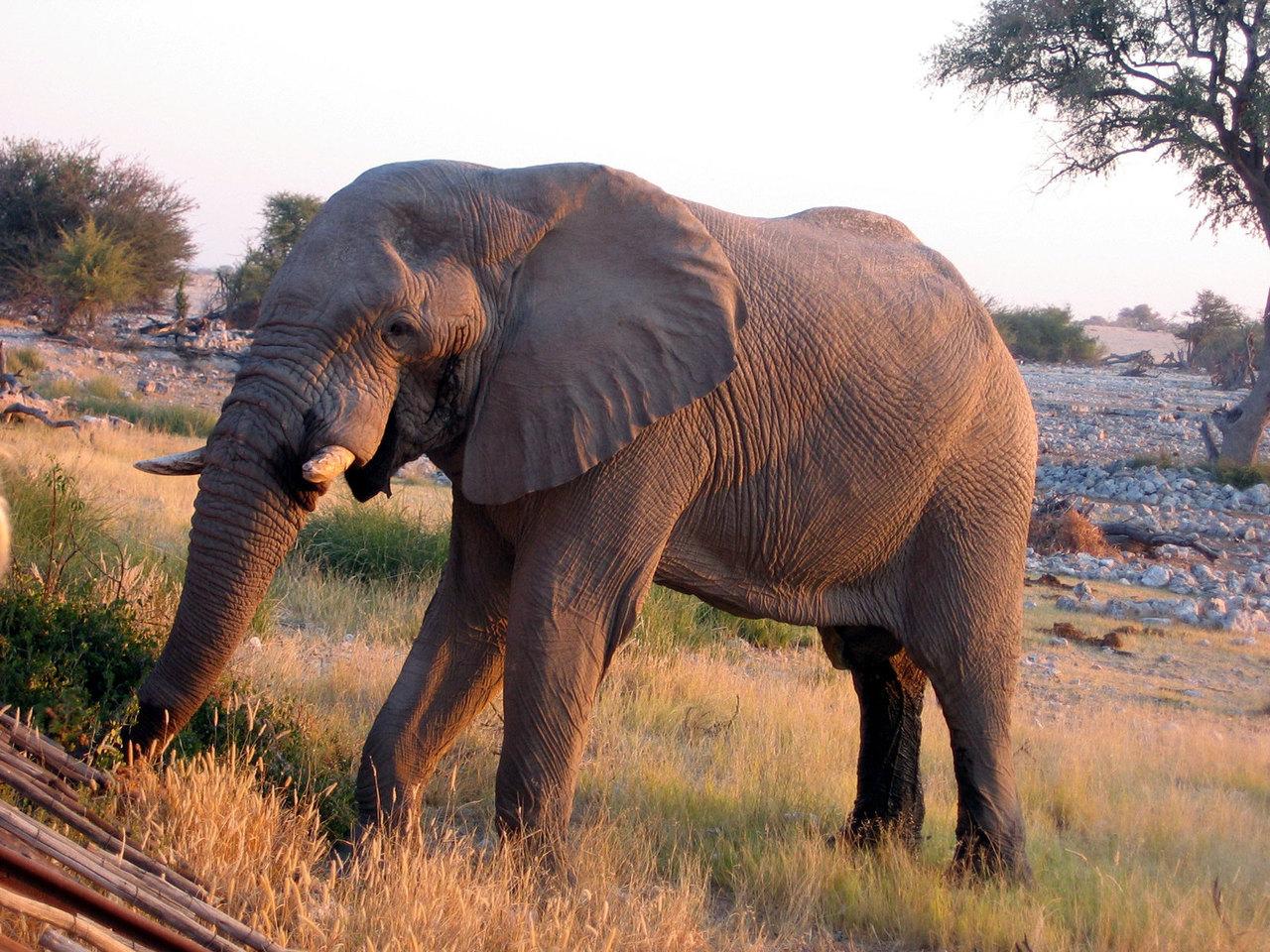 Čína letos kompletně zakáže obchodování se slonovinou