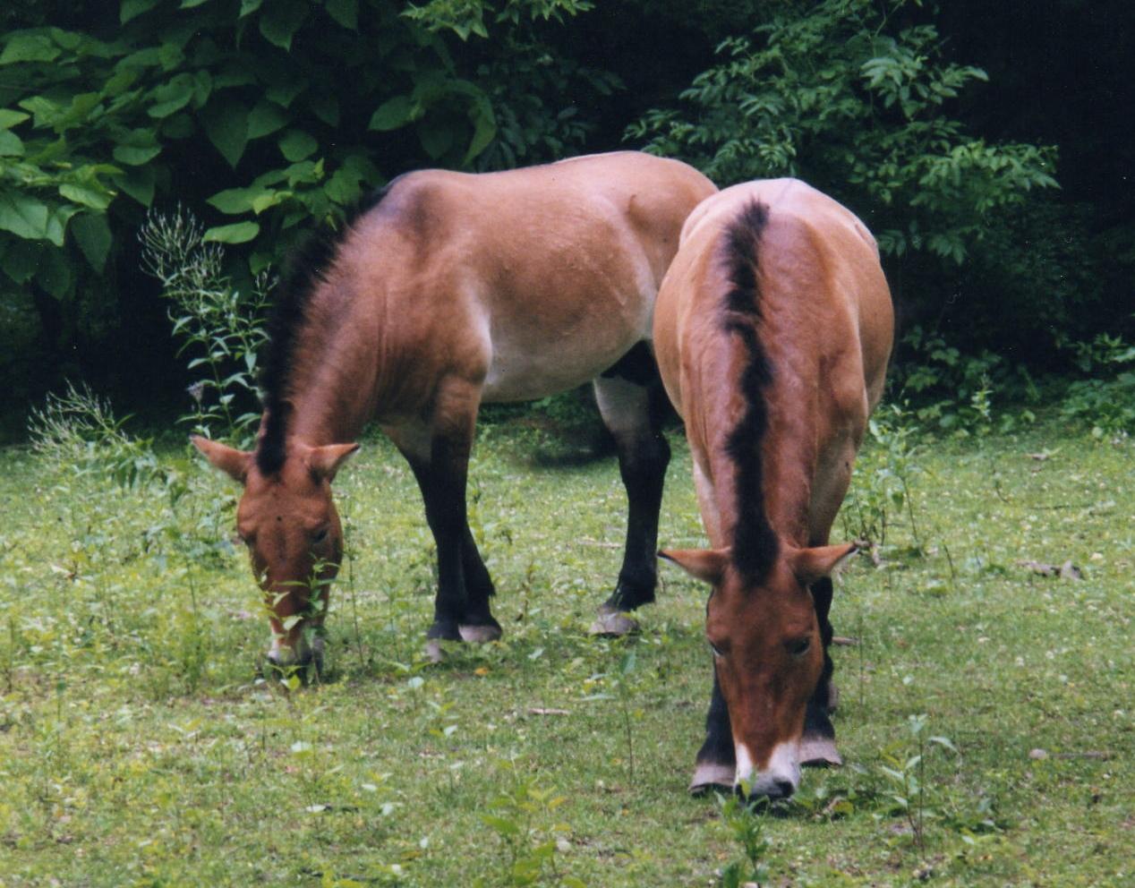 V Podyjí se bude o pastviny starat stádo divokých koní