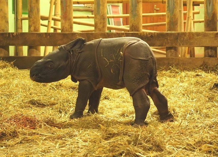 Plzeňská zoo slaví narození mláděte nosorožce indického