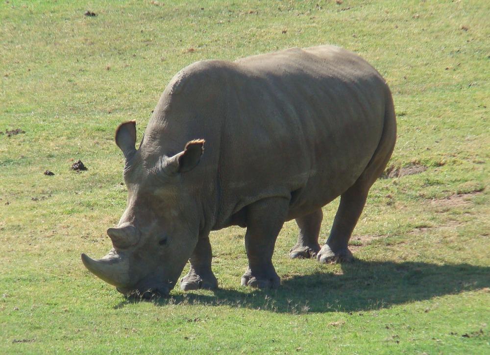 Čeští vědci se podílejí na záchraně kriticky ohroženého nosorožce bílého