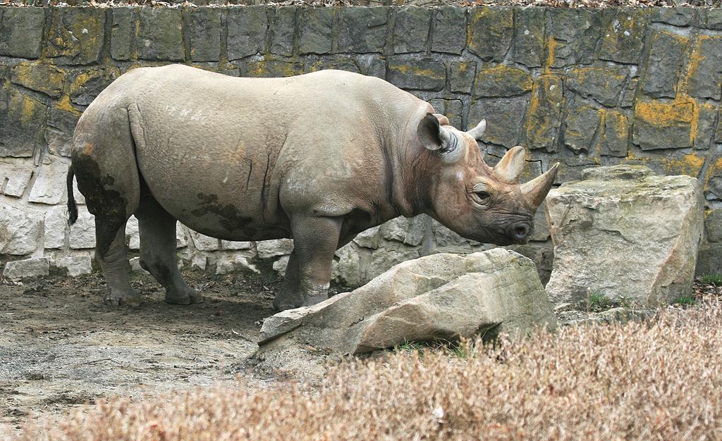 Již třetí mládě se v Tanzánii narodilo nosorožcům z Česka