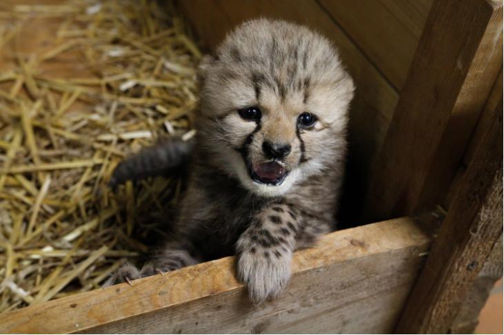 V Zoo Dvůr Králové se narodili dva gepardi a koťata karakalů