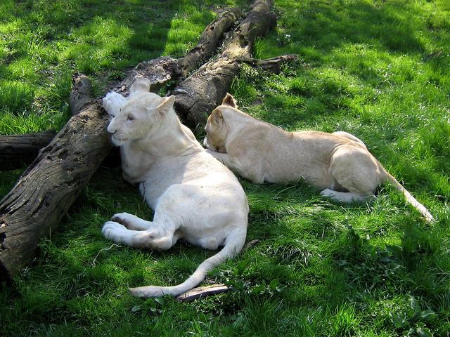 V jihočeském Dvorci u Borovan se narodilo pět bílých lvíčat