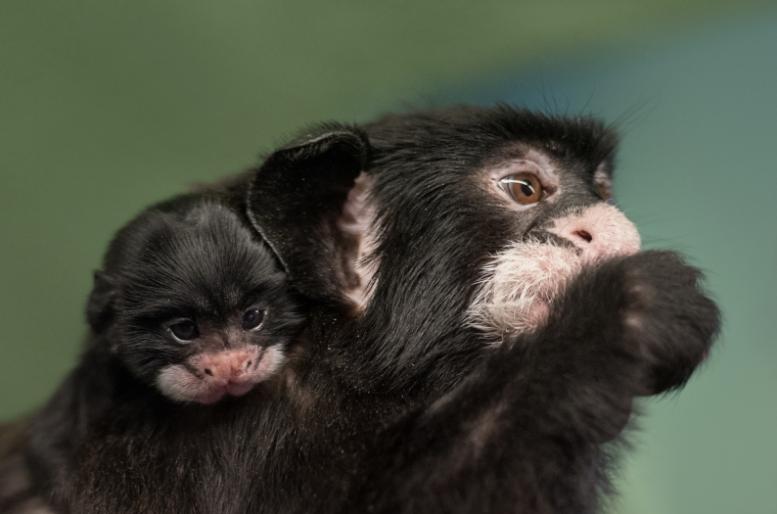 V Zoo Praha se narodilo první mládě tamarína bělovousého