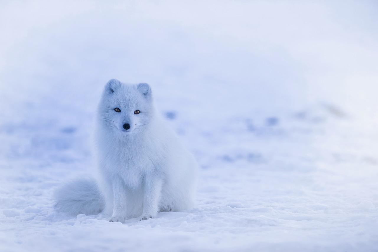 Polární lišky jsou podle nové studie zvířecími zahradníky