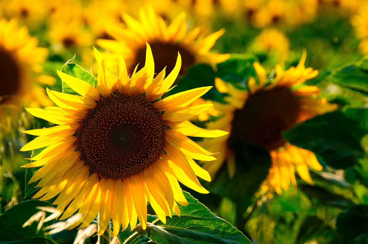 Slunečnice rozsvítily Česko na podporu pacientů s roztroušenou sklerózou
