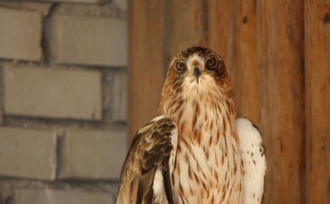 První mládě orla nejmenšího na světě odchovali v liberecké zoo