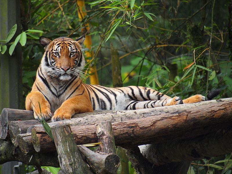 V pražské zoo se narodila dvojčata ohroženého tygra malajského