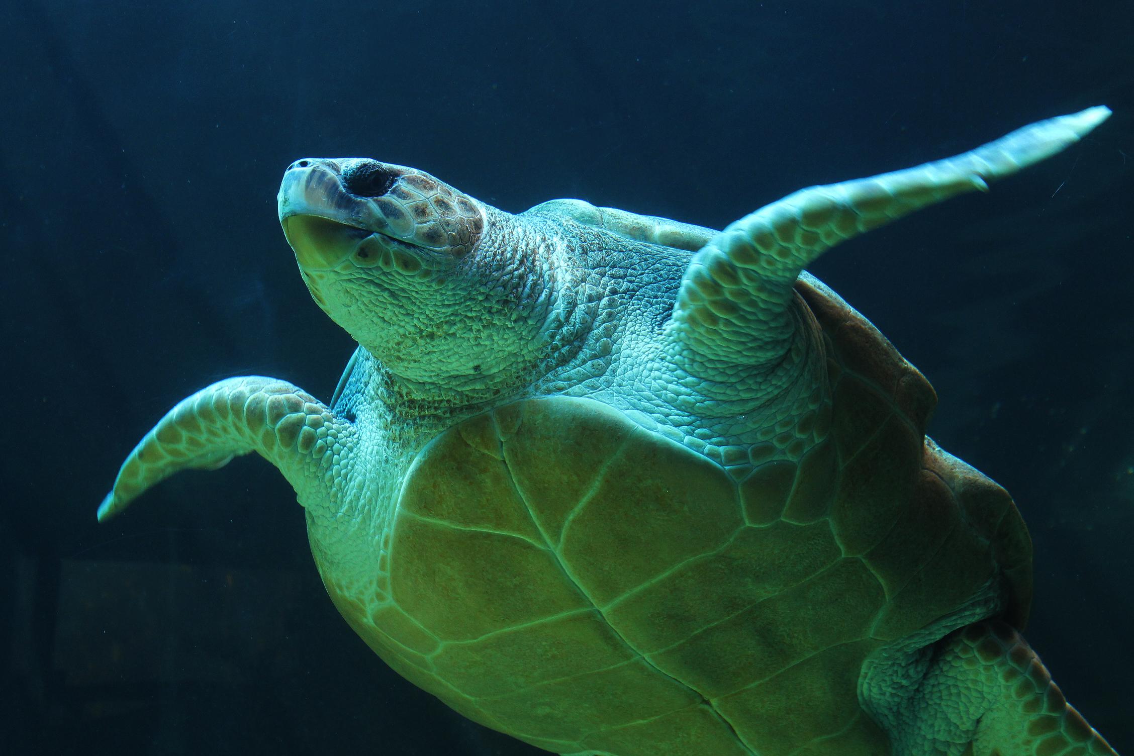 Mořským želvám se daří, jejich počty se zvyšují