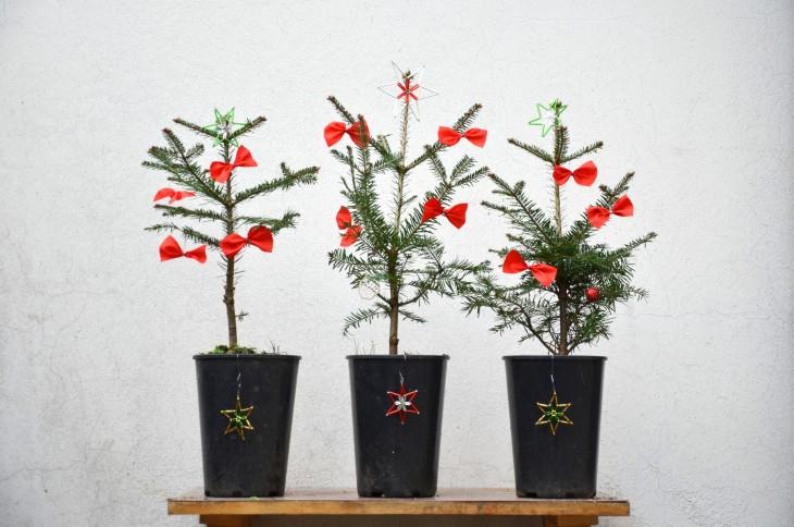 Češi vysadí na jaře vánoční stromky z květináčů do přírody