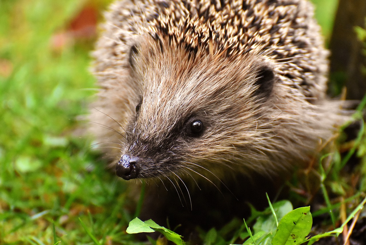 Projekt Bodlinka učí děti, jak se postarat o zachráněného ježka