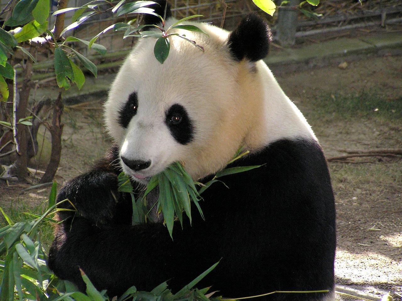 Čínská firma chce z pandího trusu vyrábět papírové kapesníky