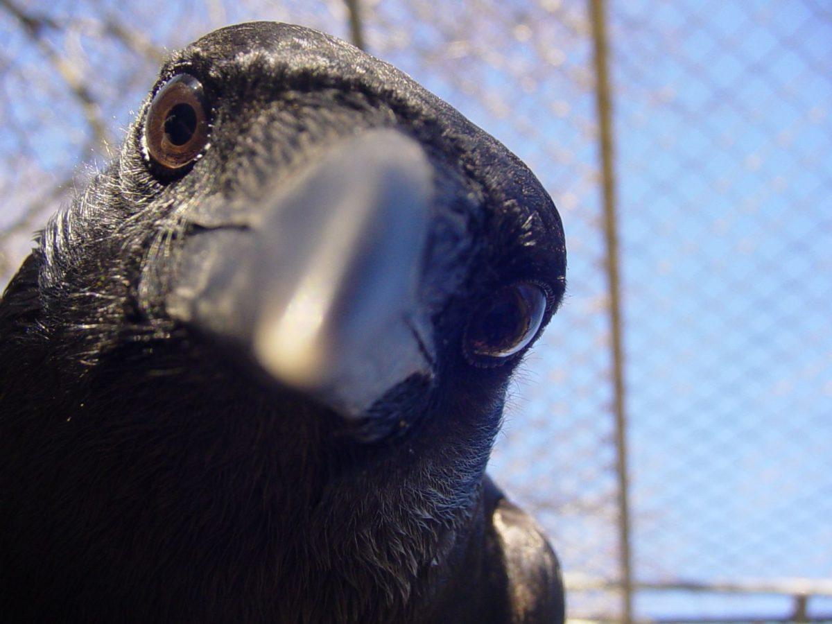 Vrány nám mohou pomoct zbavit se nedopalků v ulicích