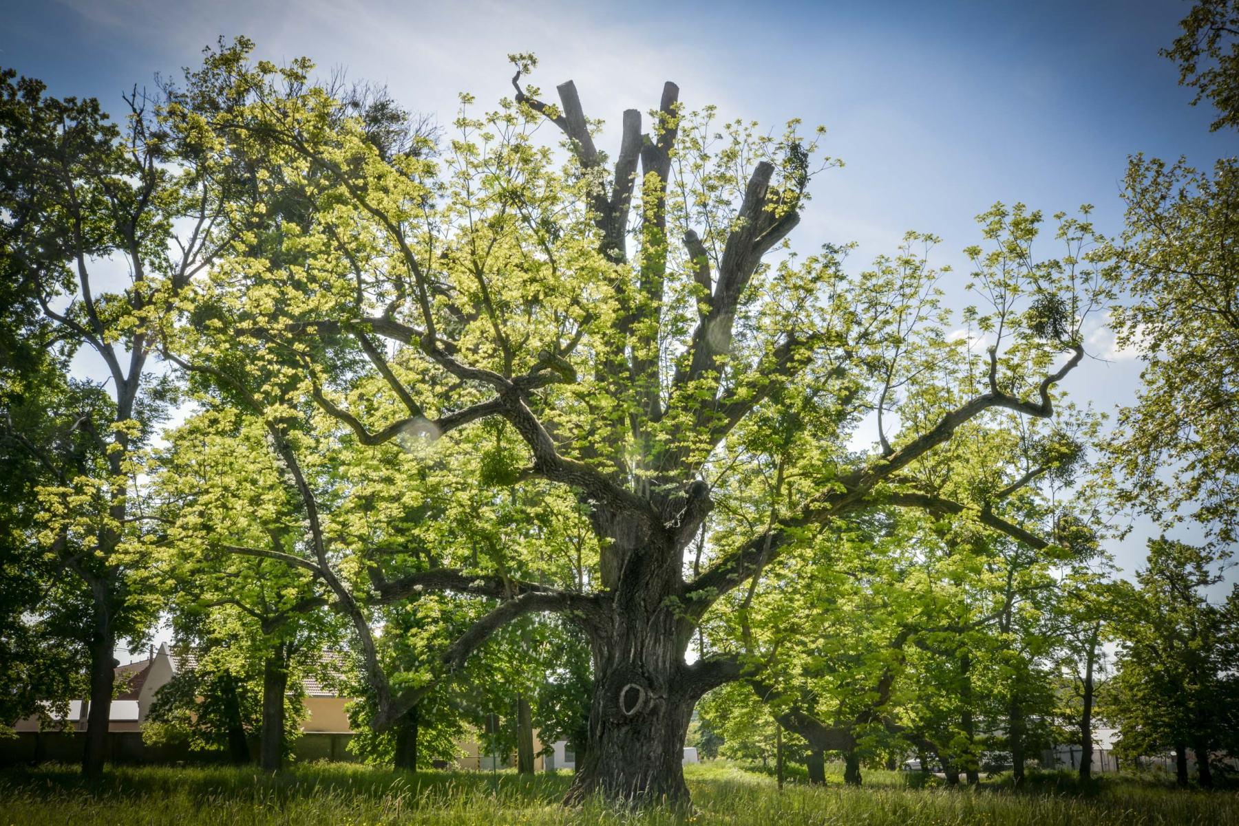Ořešák z Kvasic bojuje o titul Evropský strom roku