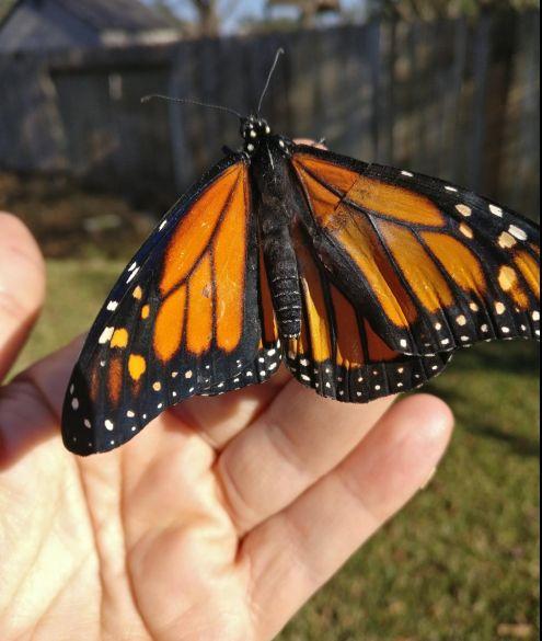 Kostýmní návrhářka zachránila život motýlu tím, že mu došila zbývající křídlo