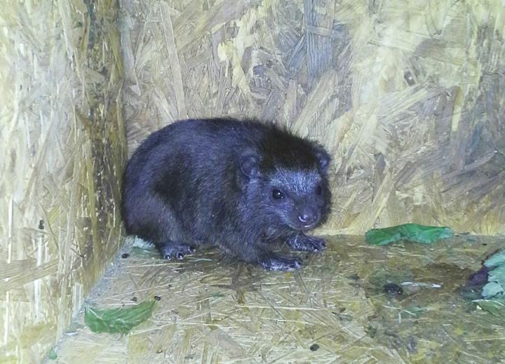 V Ostravě se narodil unikátní daman pralesní