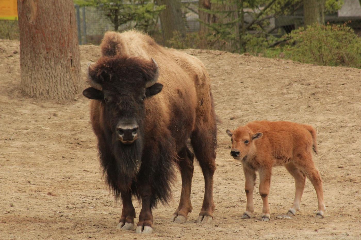 Brněnská zoo přivítala novorozené bizoní mládě