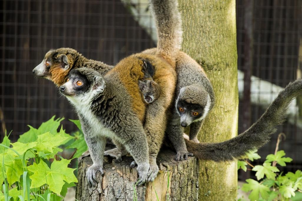 V Ostravě se narodil vzácný lemur mongoz