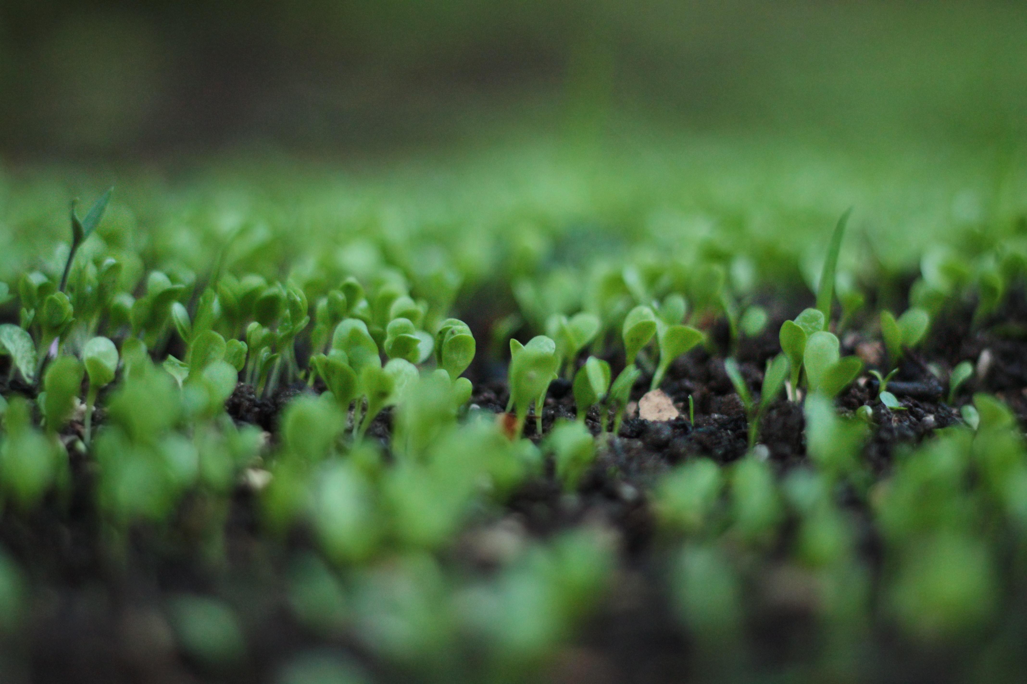 Firma pěstuje salát s využitím minima vody, aby nakrmila hladové