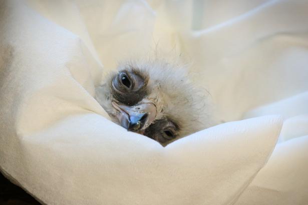 Liberecká zoo jako jediná v Evropě odchovala orly jestřábí
