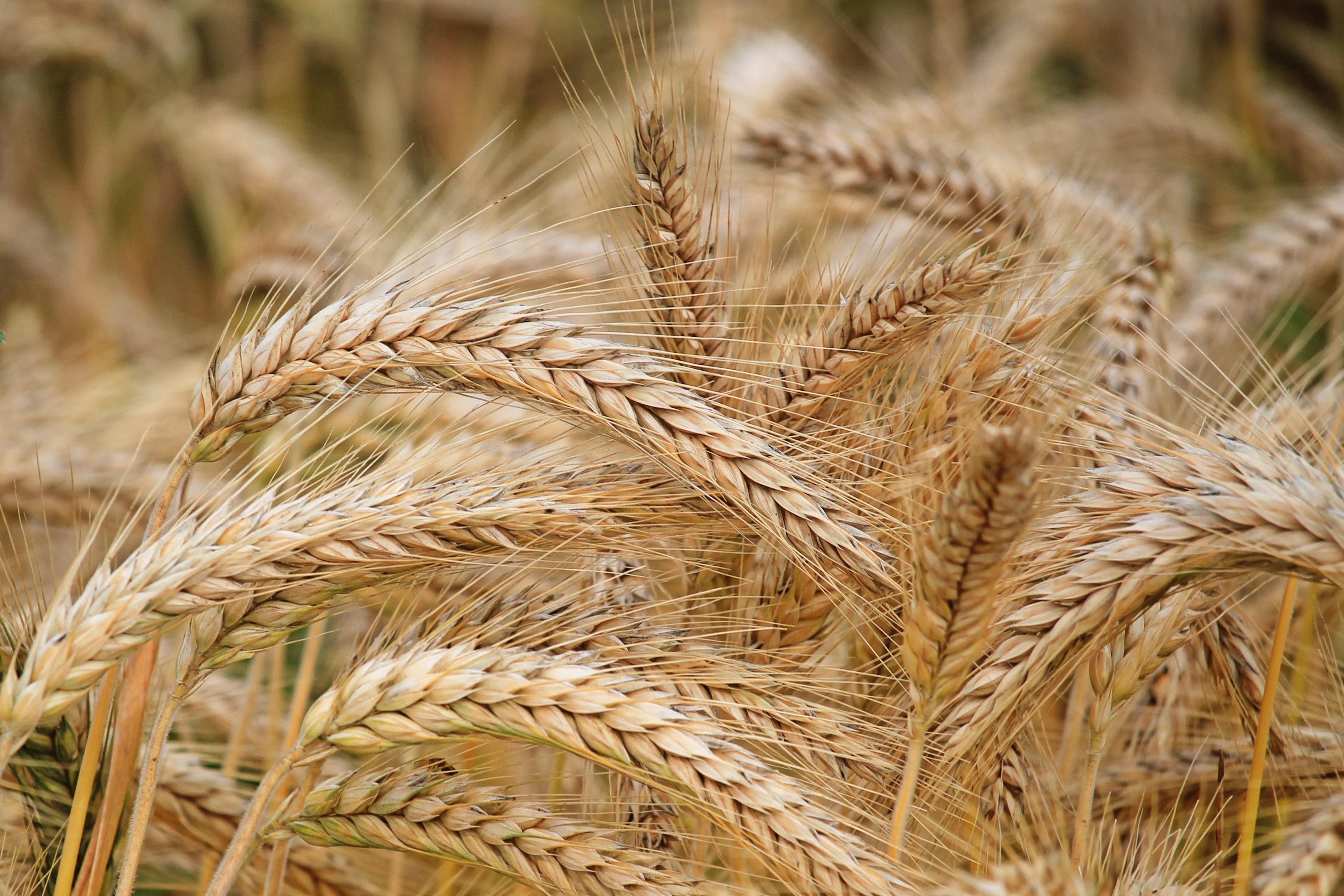 Čeští vědci vyvinuli ekologická hnojiva zvyšující výnosy obilovin