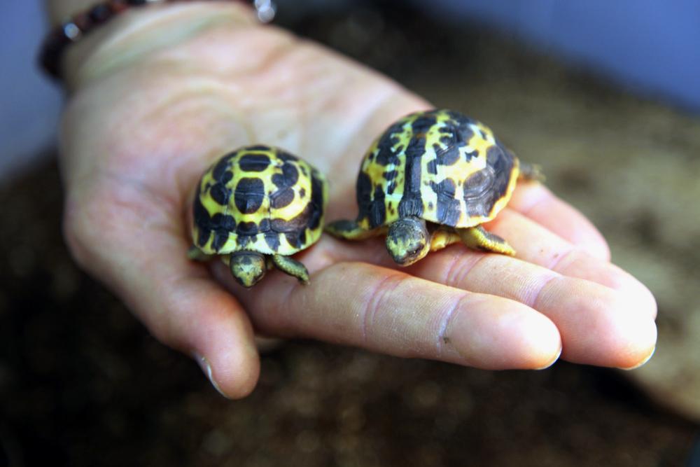 V Zoo Brno se narodilo mládě velmi vzácného druhu želvy