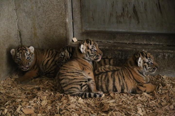 Zoo v Hluboké nad Vltavou úspěšně odchovala čtyři koťata tygra ussurijského